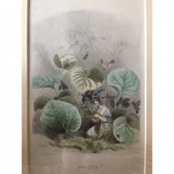 Veilchen - Stahlstich, 1850