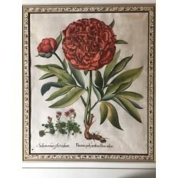 Paeonia polyanthos flore...